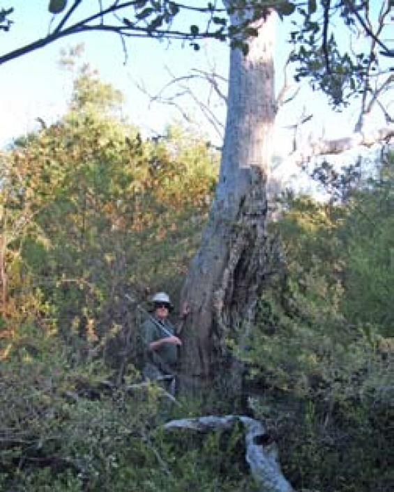 The decline of the eucalypt